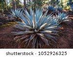 agave plant desert flora... | Shutterstock . vector #1052926325