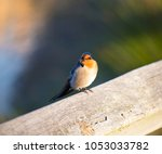 dainty little welcome swallow... | Shutterstock . vector #1053033782