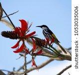 dainty chirpy  little ... | Shutterstock . vector #1053035006