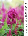 Small photo of Plumed Celosia Flower