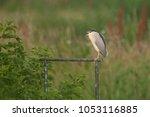 kwak op een hekje  night heron...   Shutterstock . vector #1053116885