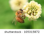 Honey Bee On The Clover Flower...