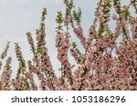 pink cherry blossoms in full... | Shutterstock . vector #1053186296