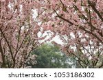 pink cherry blossoms in full... | Shutterstock . vector #1053186302