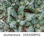 young organic broccoli... | Shutterstock . vector #1053208952