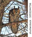 Long Eared Owl In Wisconsin