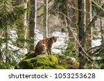eurasian lynx  lynx lynx  in... | Shutterstock . vector #1053253628