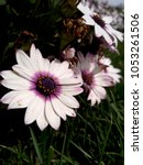 Small photo of Their gerbera daisys (african daisy) are in purple-white colors, in a garden.