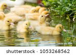 Happy Yellow Duck Family With...