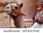 Close Up Of A Camel In Petra...