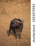 Small photo of Wild African buffalo