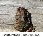 toads mating on log | Shutterstock . vector #1053408566
