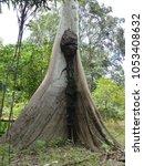 samauma tree  ceiba pentandra ... | Shutterstock . vector #1053408632