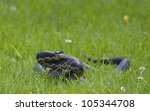 Rat Snake Coiled Ready To...