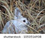 Detail Snowshoe Hare