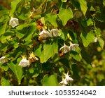 delicate dainty fragrant white... | Shutterstock . vector #1053524042