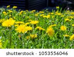 Small photo of Many yellow blooming dandelions (milk-witch gowan) on the lawn near the house.