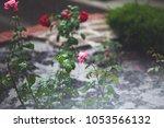 Rose Bushes In Summer Rain...