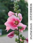 Small photo of Hollyhock, Alcea, flower