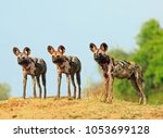 Scenic View Of Wild Dogs ...