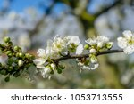 Close Up Of Plum Tree...