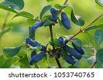 Blue Honeysuckle  Lonicera...