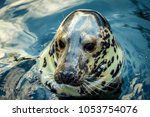 Small photo of Head of Hair seal, Sweden