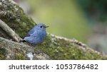 plumbeous water...   Shutterstock . vector #1053786482