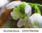 Small photo of close up of snowdrop (galanthus) flower