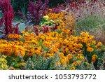Rudbeckia Summerina  Beautiful...