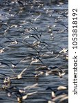 Small photo of Flock of sea gulls flying above water