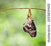 Small photo of Black-veined sergeant butterfly ( Athyma ranga ) emerging and hanging on chrysalis's shell