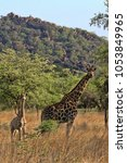 female giraffes with youngsters ... | Shutterstock . vector #1053849965