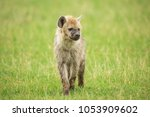 young hyena in savannah | Shutterstock . vector #1053909602