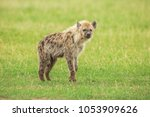 young hyena in savannah | Shutterstock . vector #1053909626