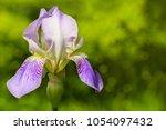 Violet Flower On Green...