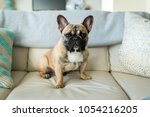 french bulldog sitting on couch ... | Shutterstock . vector #1054216205