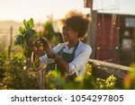 Small photo of young african american woman inspecting beets just pulled from the dirt in community urban garden