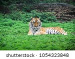 an adult wild south china tiger ...   Shutterstock . vector #1054323848