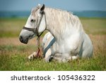 White horse portrait lying on the ground - stock photo