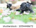 Baby French Bulldog Puppy. Dog...