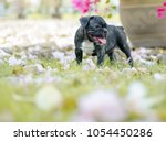 baby french bulldog puppy stand ... | Shutterstock . vector #1054450286