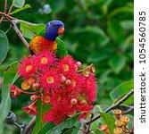 australian rainbow lorikeet ... | Shutterstock . vector #1054560785