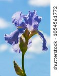 Small photo of Tall bearded iris, violet iridaceae bloom, blue color, cloudy sky background