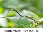 Tropical stick insect in...