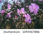 maral rhododendron flowers.... | Shutterstock . vector #1054567886