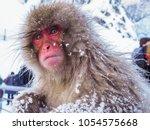Japanese Snow Monkey Snow...