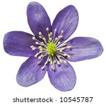 Hepatica Isolated In White