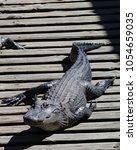Alligator Sunbathing On Wooden...