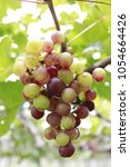 bunch of grapes | Shutterstock . vector #1054664426